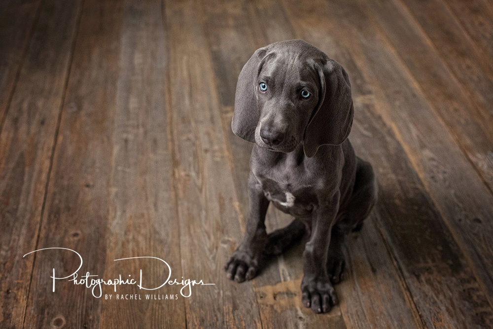 Grey_oklahoma_pet_puppy__portraits