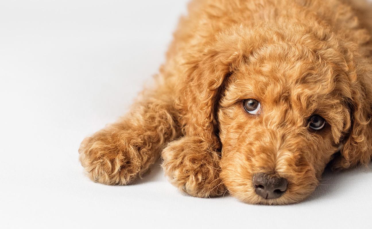 Tulsa Pet Photographer Sleepy Puppy