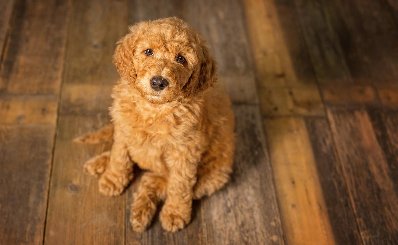 Tulsa Pet Photographer Golden-doodle Wood