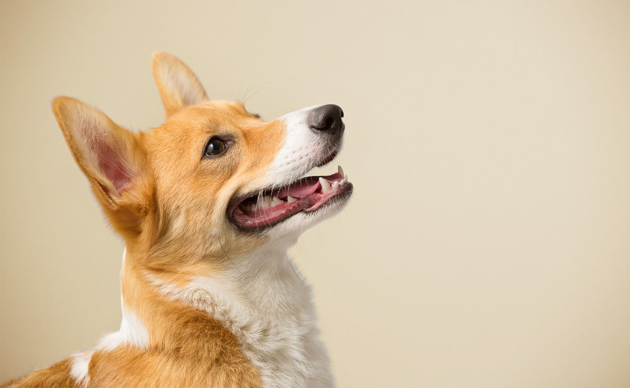 Tulsa-Corgi-Dog-Portrait-Photography