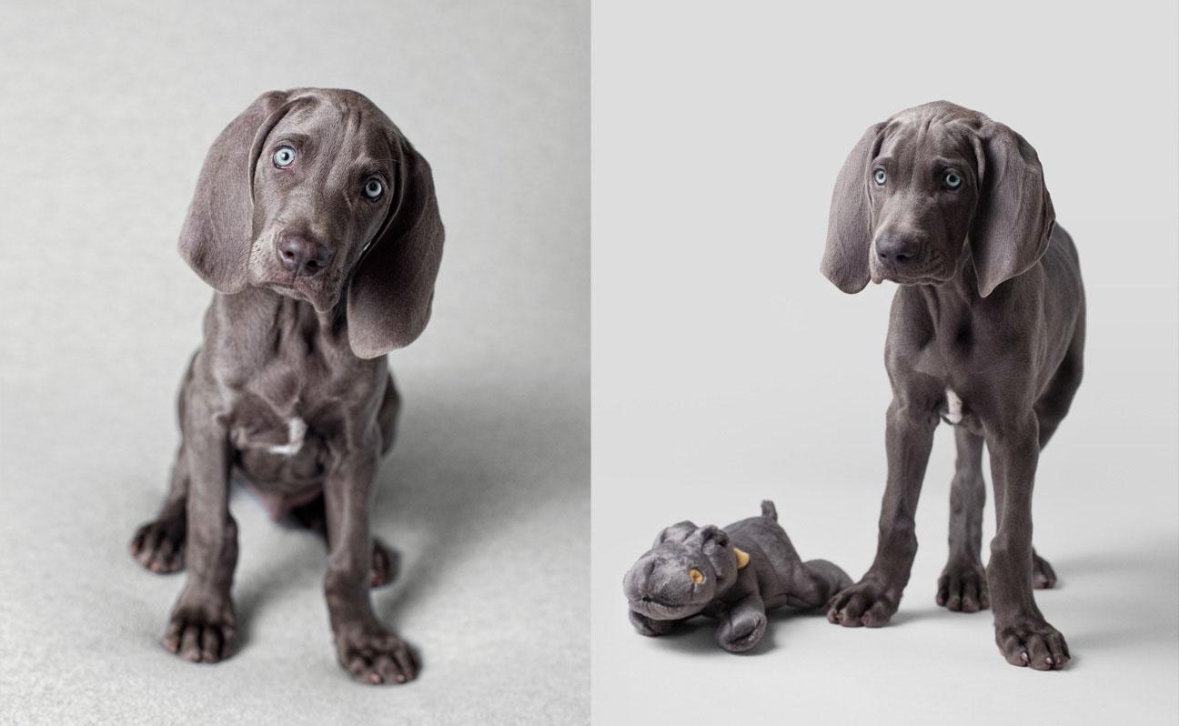 Tulsa-weinheimer-dog-portrait