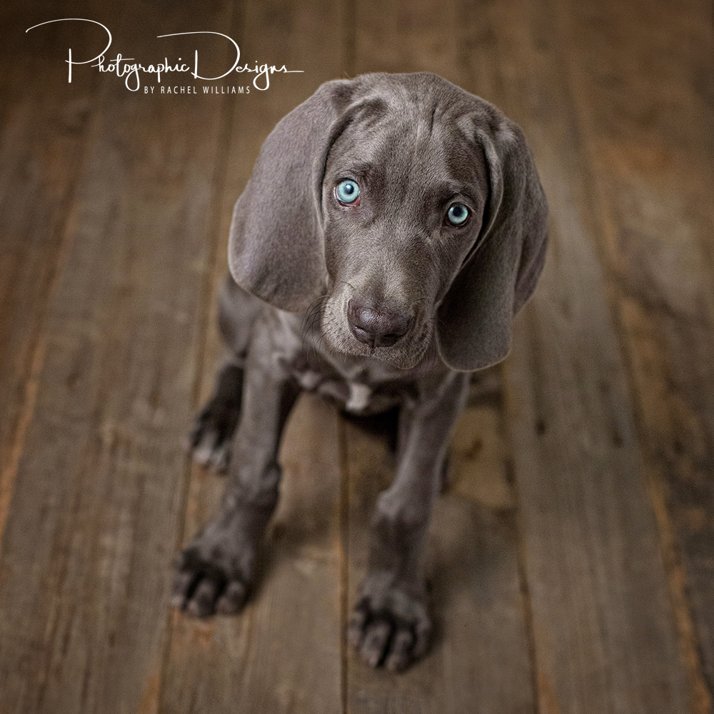 Grey_oklahoma_pet_puppy__portraits03